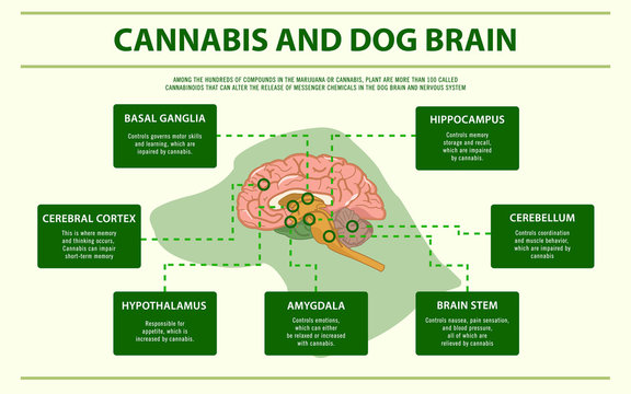 Cannabis and Dog Brain horizontal infographic illustration about cannabis as herbal alternative medicine and chemical therapy, healthcare and medical science vector.
