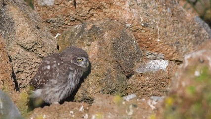 Fototapete - Young little owl (Athene noctua) stands on a natural stones near their hole.