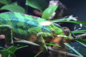 Printed roller blinds Chameleon Green striped chameleon on a branch
