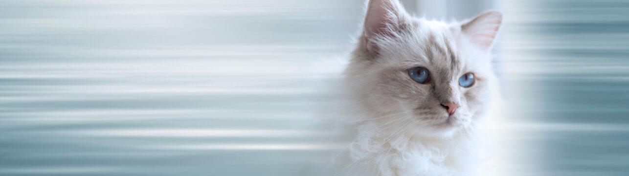 Portrait of beautiful sacred cat of burma. panoramic banner