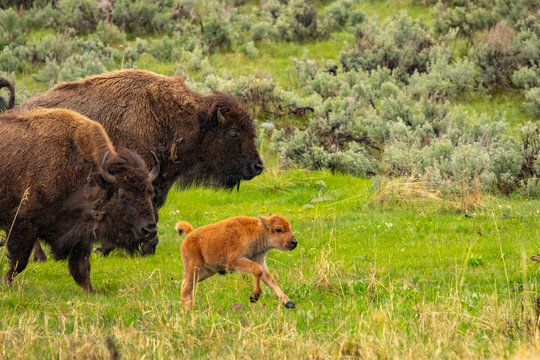 Bison and calf in Lamar Valley, Yellowstone NP