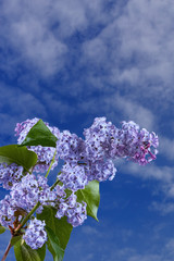 lilac branch with beautiful purple flowers and green leaves on against the blue sky