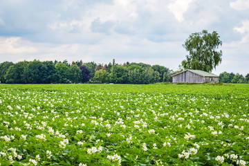 White blooming potato field with a wooden shed in the background in the Netherlands