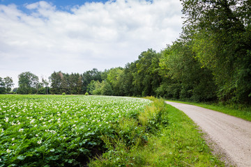 White blooming potato field and trees along a rural road in the Netherlands