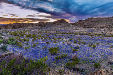 Sunset in BIg Bend with superbloom of blue bonnets