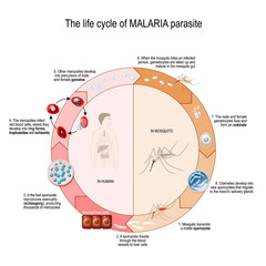The life cycle of MALARIA parasite