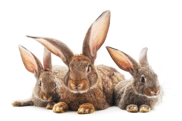 Family of brown rabbits.