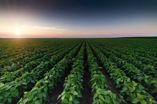Agricultural soy plantation on twilight