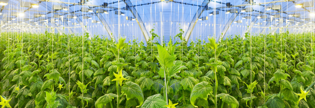 Growing cucumbers in a big greenhouse