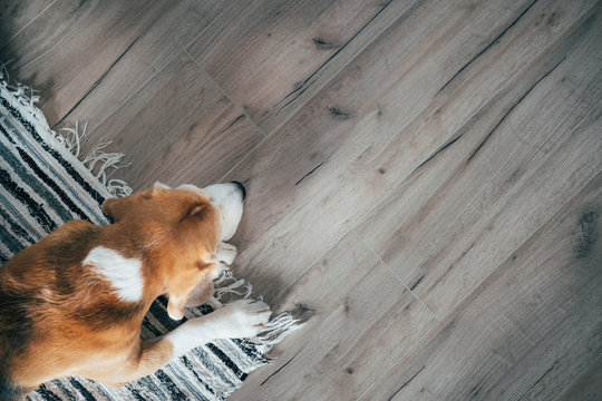Beagle dog peacefully sleeping on striped mat on laminate floor. Pets in cozy home top view image.