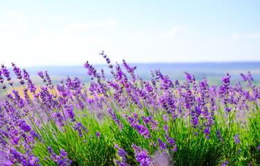 Flowering lavender field in Sunny weather in summer