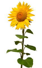 Fototapete - Sunflower isolated on white background. Sun symbol. Flowers yellow, agriculture. Seeds and oil. Flat lay, top view. Bio. Eco. Creative