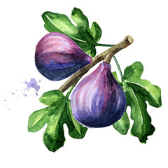 Fresh ripe purple fig fruit and leaves on a branch. Watercolor hand drawn illustration, isolated on white background