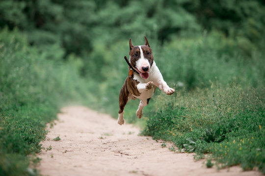 Beautiful dog breed bull terrier walks on green nature