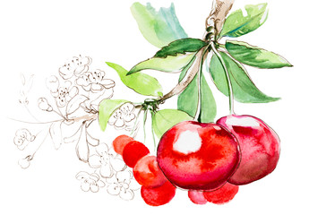 Hand drawn watercolor painting cherry on white background