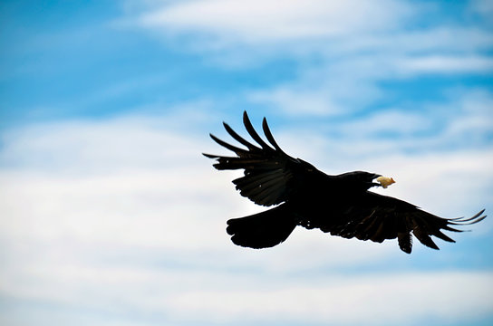 Crow flying in the sky of Virginia
