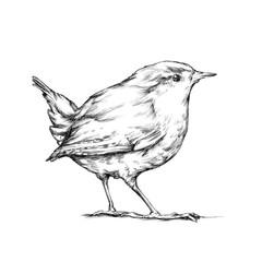 Zaunkönig, winziger Vogel