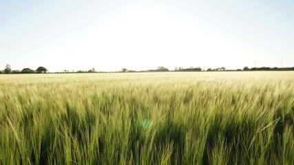 Tall Grass Field