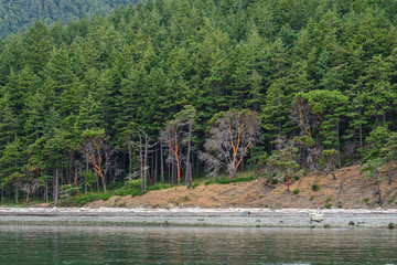 Hillside covered in evergreen and madrone trees above a rocky shore, as a background, San Juan Islands