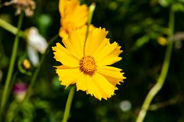 Fond de hotte en verre imprimé Univers Yellow cosmos or Cosmos sulphureus, sulfur cosmos. Flower. Nature.