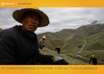 The Wider Image: As Chinese mountains get hotter, 'cure-all' fungus dwindles