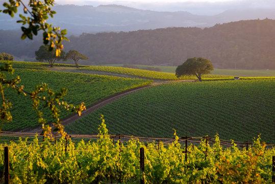 A generic Napa Valley vineyard