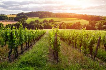 Wall Murals Vineyard Beautiful vineyard at sunset. Travel around France, Bordeaux