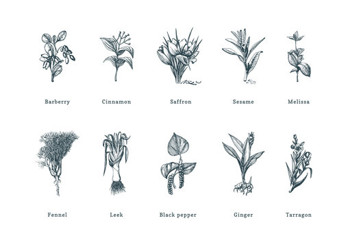 Drawn spice herbs set in engraving style. Botanical illustrations of organic, eco plants. Sketches collection in vector.