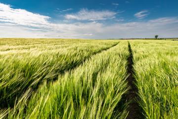 Ears of grain on green field in summer Poland Fotoväggar