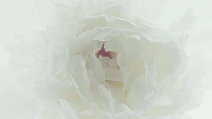 Fotoväggar - Beautiful white with pink Peony opening background. Blooming peony flower closeup. Timelapse 4K UHD video footage. 3840X2160