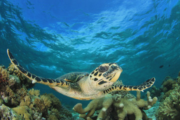 Wall Mural - Hawksbill Sea Turtle on coral reef