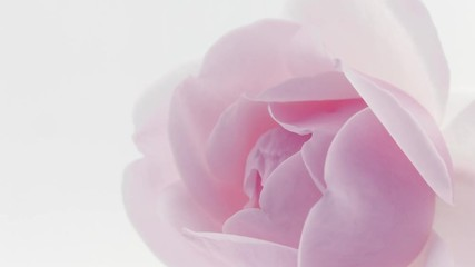 Fotoväggar - Peony. Beautiful pink Peony opening background. Blooming peony flower closeup. Timelapse 4K UHD video footage. 3840X2160