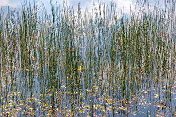 Texture background with green reed and pondweed growing in a little Dutch fen or lake in the Netherlands