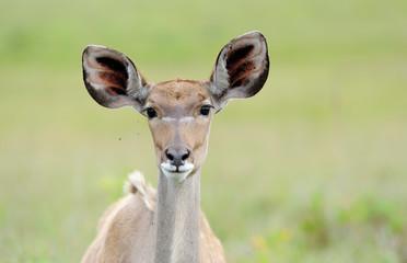 Greater kudu close up head