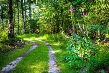 Wall Mural - Landscape colorful sunny forest with trail, trees, plants and blooming foxgloves