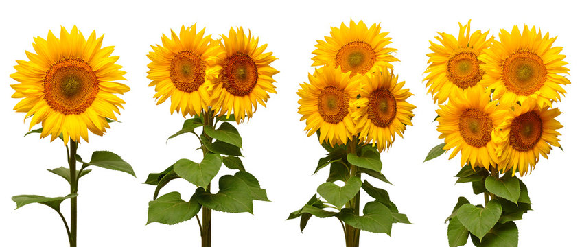 Sunflowers collection various bouquet isolated on white background. Sun symbol. Flowers yellow, agriculture. Seeds and oil. Flat lay, top view. Bio. Eco