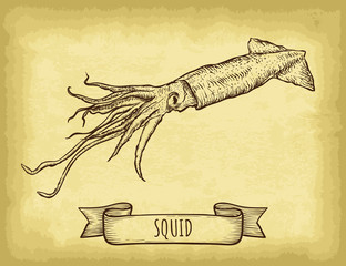 Hand drawn squid isolated. Old craft paper texture background. Ribbon banner. Engraved style vector illustration. Template for your design works.