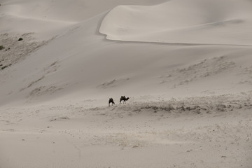 Camels Camelus bactrianus Sand Dunes on Horizon