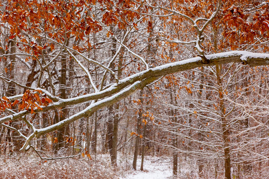 A snow covered branch in front of a woodland with red leaves.