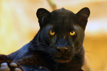 Zelfklevend Fotobehang Luipaard The leopard (Panthera pardus) portrait. Melanistic leopards are also called black panthers.