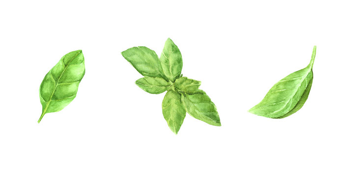 hand painted watercolor illustration set fresh green basil leaves. elements for design, recipe ingredient