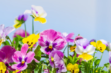 Wall Murals Pansies パンジー
