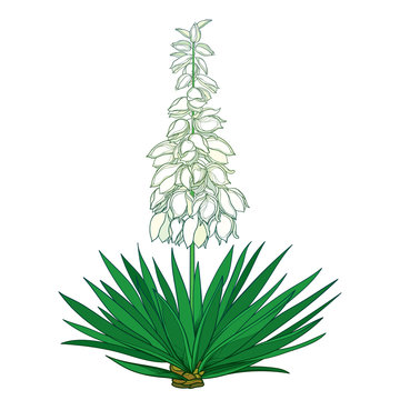 Outline Yucca filamentosa or Adam's needle flower bunch, ornate pastel bud and green leaf isolated on white background.