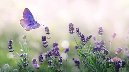Poster Lavande Purple blossoming Lavender and flying butterfly in nature.