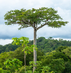 An ancient tree rises above the jungle rainforest in Costa Rica