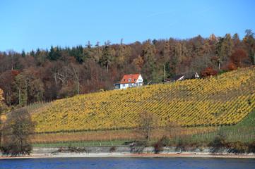 vineyard at Lake Constance, Germany