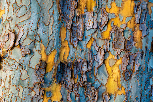 Wood texture and background of a sycamore tree in the colors blue and yellow