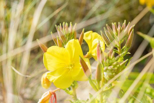 fleures sauvages dans les dunes