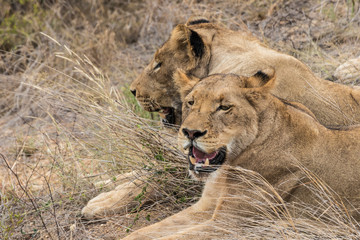Lions in the Kruger National Park in South Africa. Safari in Mpumalanga.