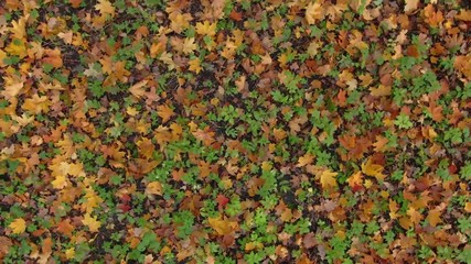 Wall Mural - Fallen leaves in autumn forest. Colorful pattern background.